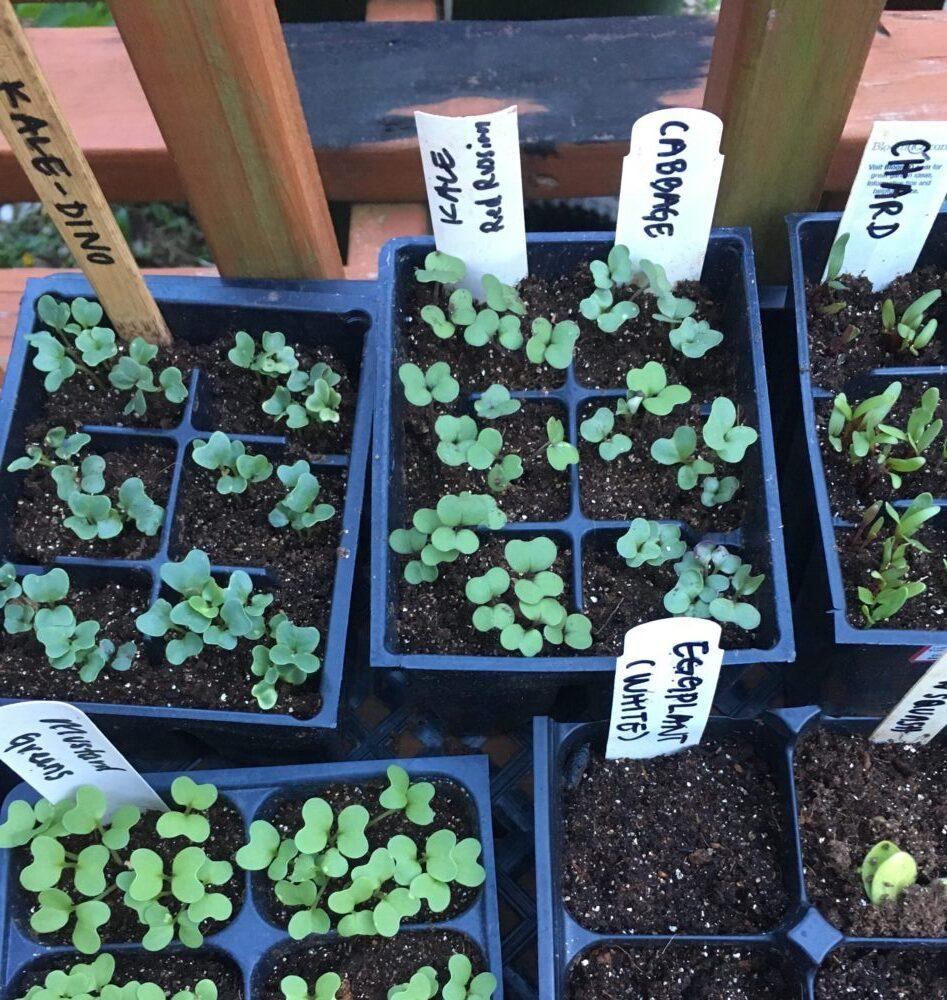 vegetable seed starts